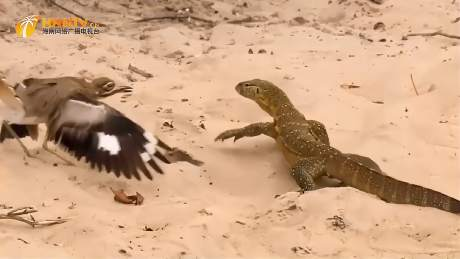 石鸻为保护鸟蛋和蜥蜴开战,蜥蜴无奈离去-《潮观大自然》