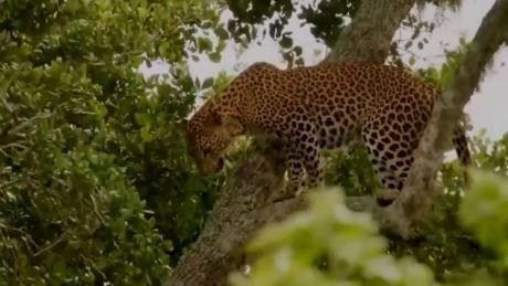 丛林杀手擅长隐秘偷袭,物种合作求得生路一条-《潮观大自然》