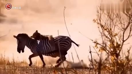 狮子扑在斑马的身上,任凭斑马怎么蹦跶,就是不下来-《贵州台走进自然》