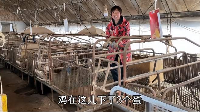 常输带病猪场干活,看到金猪又大又肥高兴坏了,不料还有意外惊喜-《农村傻大妮儿》