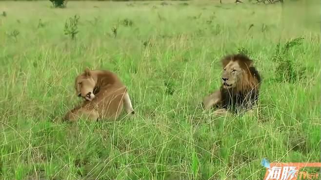 坏男孩雄狮老大马库鲁,和母狮的独处时光-《寰宇趣瞰视界》