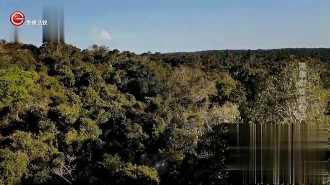 猴子们进行野化训练,它们利用尾巴,能够轻松在树间来回穿梭-《贵州台走进自然》