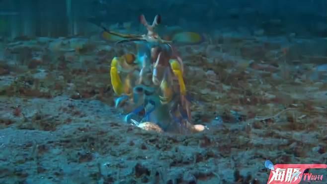 螳螂虾暴打章鱼哥,捶的章鱼哥眼冒金星-《寰宇趣瞰视界》