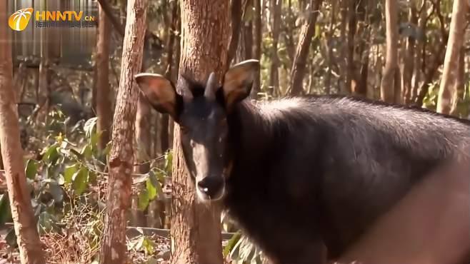 大兴安岭出现大型野兽,体重1吨比犀牛还高很多,最怕遇到狼群-《潮观大自然》