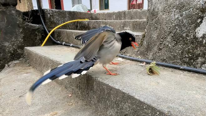 鸟中之王被螳螂击退,内容精彩-《蒙面鸟哥》
