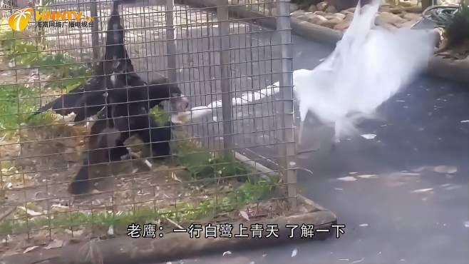 国外男子醉酒后去看老虎,不料悲剧发生,镜头拍下惊险瞬间-《潮观大自然》