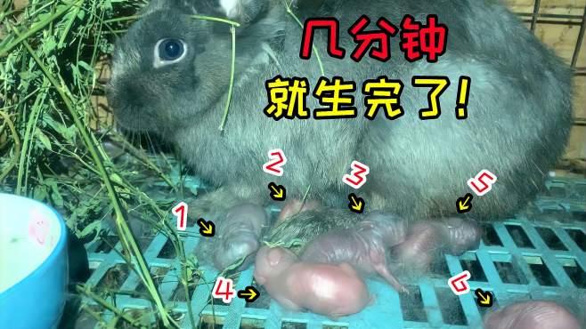 记录:拍下兔子产崽的过程,这生的速度太快了吧,几分钟就生完了-《Super搞笑开箱》