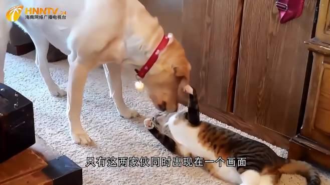 狗狗向猫咪示好,反被误解成挑衅,猫咪喊来同伴群殴狗子-《潮观大自然》
